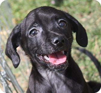 Chihuahua/Italian Greyhound Mix Puppy for adoption in Henderson, Nevada - Jackson 5 Puppies!