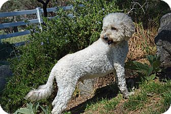 Poodle (Toy or Tea Cup) Mix Dog for adoption in Mountain Center, California - Freedom