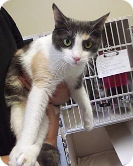 Domestic Shorthair Cat for adoption in Cheboygan, Michigan - Natasha