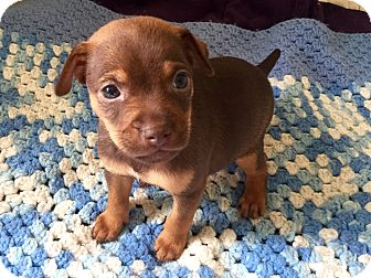 Miniature Pinscher/Terrier (Unknown Type, Small) Mix Puppy for adoption in Vancouver, British Columbia - Red Ted