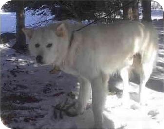 Jindo Dog for adoption in Ortonville, Michigan - Torrie