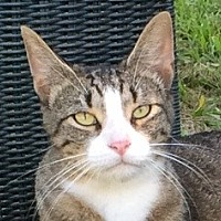 Domestic Shorthair Cat for adoption in Mobile, Alabama - Striker