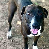 American Pit Bull Terrier/Pit Bull Terrier Mix Dog for adoption in Norman, Oklahoma - Arya