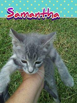 American Shorthair Kitten for adoption in Elgin, Oklahoma - Samantha