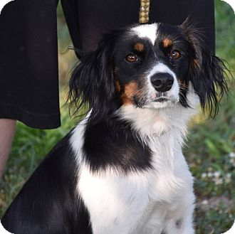 King Charles Spaniel Mix Dog for adoption in Texico, Illinois - Shelby
