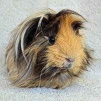 Adopt A Pet :: Gabriel - Imperial Beach, CA