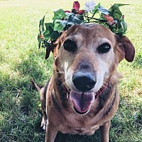 Beagle Mix Dog for adoption in Doylestown, Pennsylvania - Scarlette