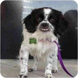 Pekingese Mix Puppy for adoption in Denver, Colorado - Colleen