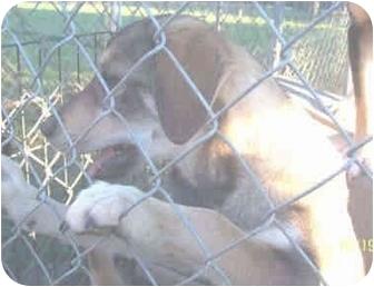 German Shepherd Dog Mix Puppy for adoption in Arlington, Virginia - Becky
