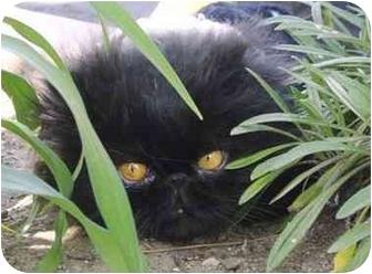 Persian Cat for adoption in Beverly Hills, California - Darius