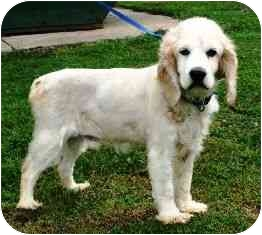 Cocker Spaniel Dog for adoption in Osseo, Minnesota - Milo