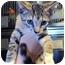 Photo 1 - Domestic Shorthair Kitten for adoption in West Warwick, Rhode Island - Alena