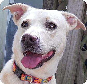 Labrador Retriever Mix Dog for adoption in Kingwood, Texas - Cara