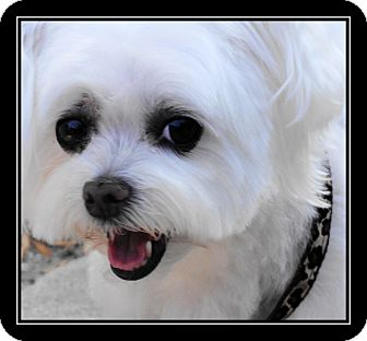 Maltese Mix Dog for adoption in Fort Braff, California - Baby Ruth