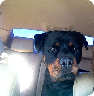 Rottweiler Dog for adoption in Gilbert, Arizona - Tesla