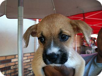 Terrier (Unknown Type, Medium)/Hound (Unknown Type) Mix Puppy for adoption in North Hollywood, California - Nala