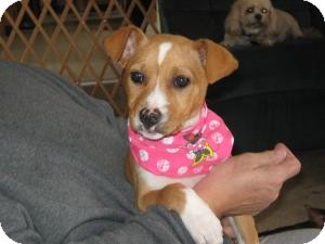 Labrador Retriever/Boxer Mix Puppy for adoption in Marlton, New Jersey - Baby Paddy