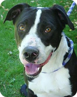 Border Collie Mix Dog for adoption in Red Bluff, California - Reeves