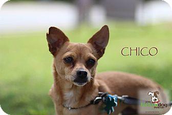 Chihuahua Mix Dog for adoption in Alpharetta, Georgia - Chico