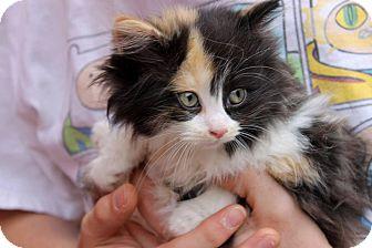 RagaMuffin Kitten for adoption in Cincinnati, Ohio - Equanimity
