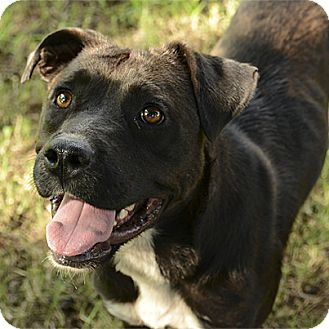 Pit Bull Terrier Mix Dog for adoption in Stillwater, Oklahoma - Fossie