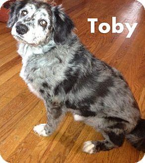 Sheltie, Shetland Sheepdog/Standard Poodle Mix Dog for adoption in New Jersey, New Jersey - Toms River NJ - Toby