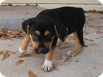 Shepherd (Unknown Type)/Hound (Unknown Type) Mix Puppy for adoption in Glenburn, Maine - Boots
