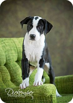 Labrador Retriever Mix Puppy for adoption in Vandalia, Illinois - Knox