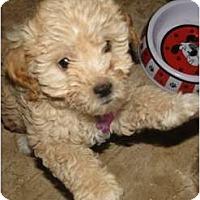 Adopt A Pet :: Frenchy - Arlington, TX