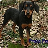 Adopt A Pet :: Fraca - Danbury, CT