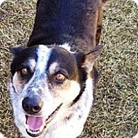 Adopt A Pet :: Sydney - Gilbert, AZ
