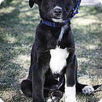 Adopt A Pet :: Mily - Broomfield, CO
