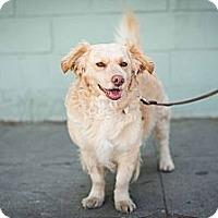 Adopt A Pet :: Muppet - Santa Monica, CA