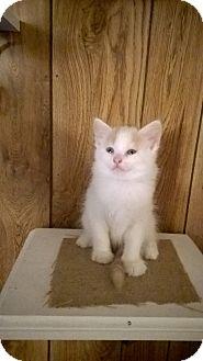 Turkish Van Kitten for adoption in Ocala, Florida - Sweet Pea
