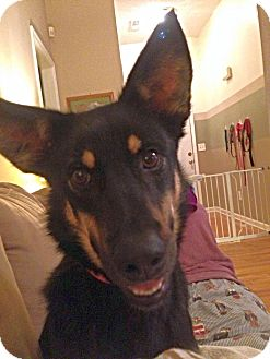 German Shepherd Dog Mix Dog for adoption in Chattanooga, Tennessee - Minnie-Cooper