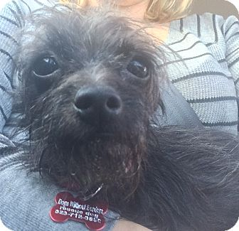 Terrier (Unknown Type, Small)/Chihuahua Mix Dog for adoption in Encino, California - Cinna - Hoarding dog