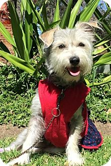 Schnauzer (Miniature)/Terrier (Unknown Type, Small) Mix Dog for adoption in San Diego, California - KITTY
