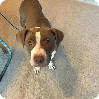 American Pit Bull Terrier Mix Dog for adoption in Scottsdale, Arizona - Mona