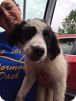Collie/Spaniel (Unknown Type) Mix Puppy for adoption in Danbury, Connecticut - May