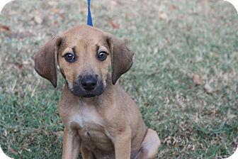 Labrador Retriever/Hound (Unknown Type) Mix Puppy for adoption in Conway, Arkansas - Amos
