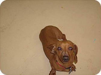 Dachshund Mix Dog for adoption in Newburgh, Indiana - macy mae pending