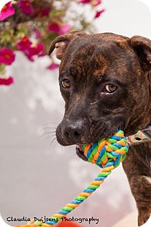 American Staffordshire Terrier Mix Dog for adoption in Long Beach, New York - Hooper