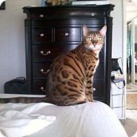 Adopt A Pet :: Aisia - San Fernando Valley, CA