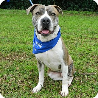 American Staffordshire Terrier Mix Dog for adoption in McCormick, South Carolina - Blue