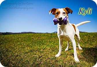 Jack Russell Terrier Mix Dog for adoption in Breinigsville, Pennsylvania - Kyli