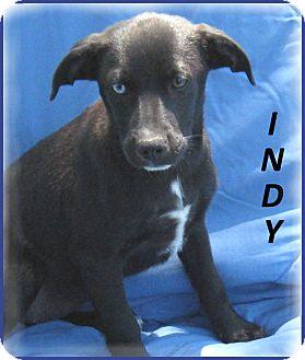 Labrador Retriever/Flat-Coated Retriever Mix Puppy for adoption in Marlborough, Massachusetts - Indy