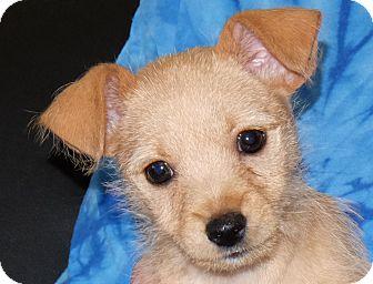Terrier (Unknown Type, Small) Mix Puppy for adoption in Spokane, Washington - Chloe