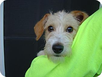 Chihuahua/Terrier (Unknown Type, Medium) Mix Puppy for adoption in Texarkana, Texas - Peach ADOPTED TX
