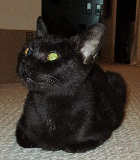 Domestic Shorthair Cat for adoption in Frankfort, Illinois - Sissy