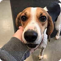 Adopt A Pet :: Daisy - Alexandria, VA